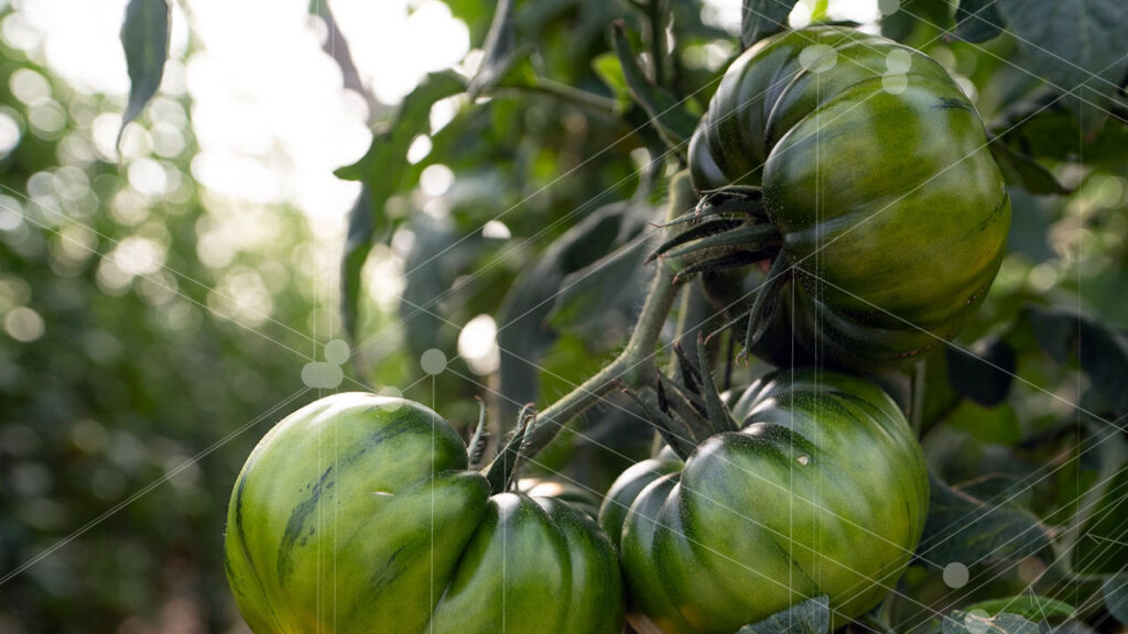 Ana Publishes an outreach article in Nova Ciencia ! Have shaded cropped tomatoes any advantage?